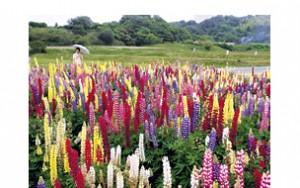 板山 向山地区の美しいルピナス花畑 - 阿久比町HPより